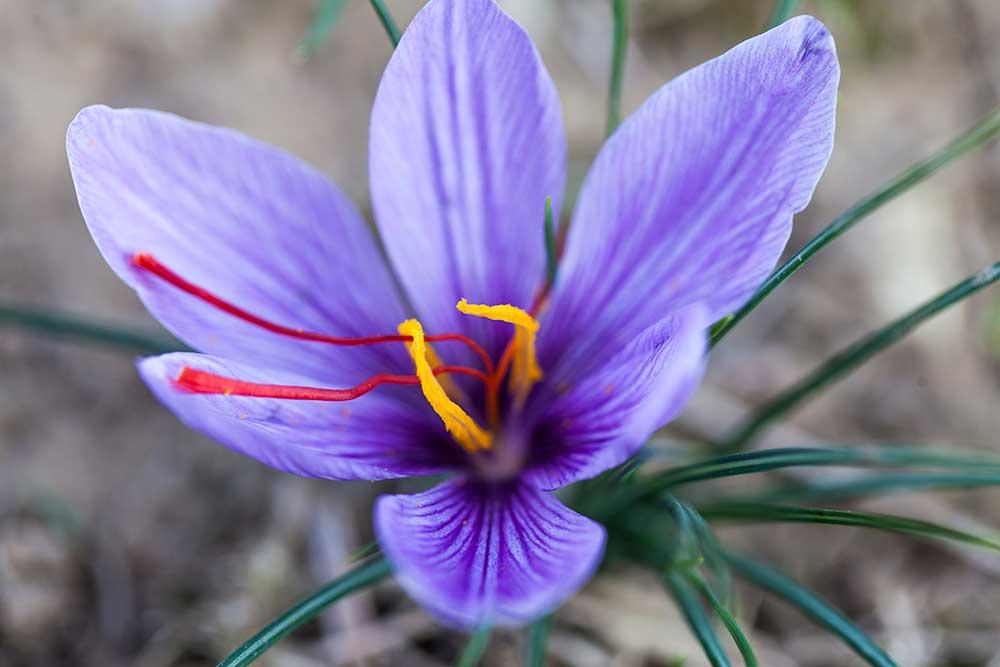 Safran – Das einzige Aroma das aus einer Blume stammt